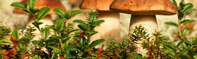 Осенний отдых в Буковеле (Карпаты) - сбор грибов